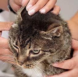 öronskabb katt stronghold